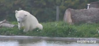 Kolind webcam - Siku the polar bear, Kolind webcam, Region Midtjylland, Syddjurs municipality