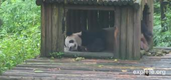 Ya'an webcam - Tai Shan the panda bear, Ya'an webcam, Sichuan, Sichuan